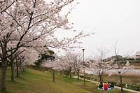 千鳥が池公園の桜
