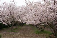 筵内渓雲寺の桜