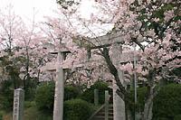 小山田斎宮の桜