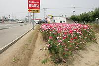 二日市線沿いの花畑