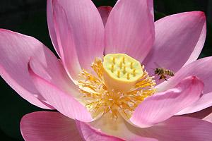 はすの花とミツバチ