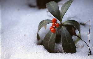 雪の中の赤い実