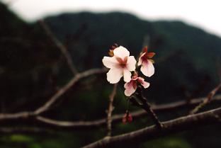 桜が開花している様子