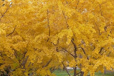 みごとに色づいたイチョウの木