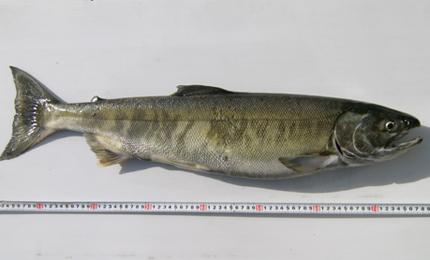 鮭は全長78センチ、重さ4キロ