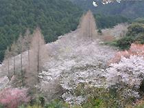 一面に広がる桜