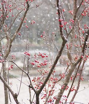 雪に映える赤い実をつけた若木
