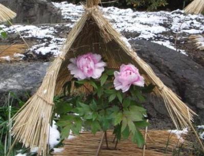 箱崎宮の冬牡丹