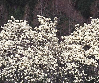 興山園のモクレンの花