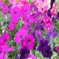 ペチュニアの花