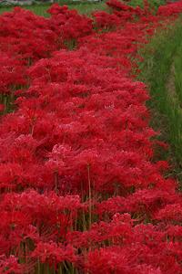 咲き乱れる赤い彼岸花