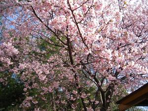 千鳥苑の寒緋桜