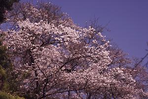 興山園の桜