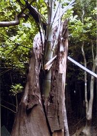 朽ちた木から竹が!