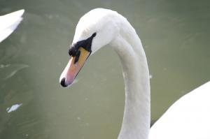 純白のコブ白鳥