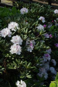 色とりどりの石楠花が楽しめます