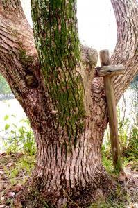 支柱よりもずいぶん大きくなった楠
