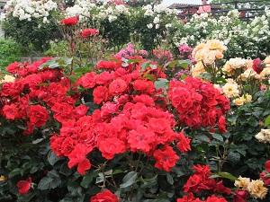 とても色鮮やかなバラ