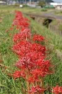 鮮やかな赤が美しい彼岸花
