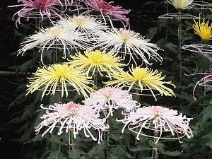 菊花展の美しい菊にうっとり