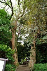 大きなイチイガシの木