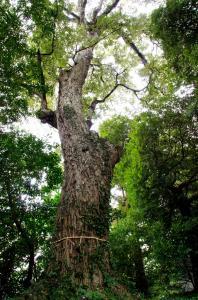 樹齢は約1100年だそう
