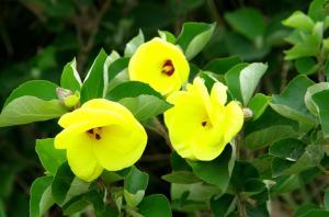 鮮やかなハマボウの花