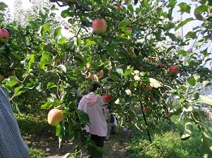 梨とりんご狩りもお楽しみ!