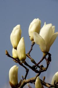 コブシの美しい花