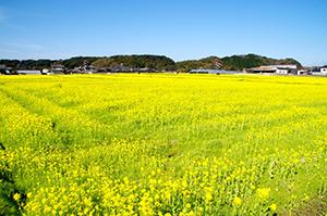 20160318-黄色いじゅうたん