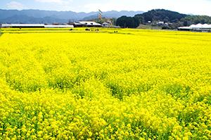 20160318-一面の菜の花