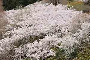 まるで雲海のような満開の桜