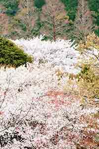 桜並木も雲海に見えて