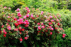 石楠花が見事です