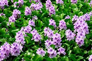 薄紫のホテイアオイ