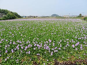 一面に薄紫の花