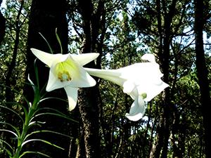 真っ白なユリの花