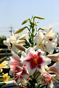 色んなユリの花