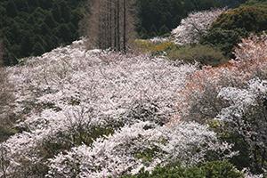 興山園の満開の桜