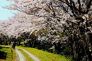 興山園の見事な桜