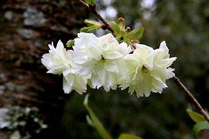 可憐なうこん桜