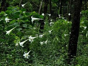 防風林のテッポウユリ