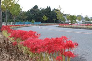 歩道に並ぶ赤い彼岸花