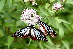 渡りの蝶アサギマダラ