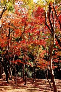 興山園は紅葉一色