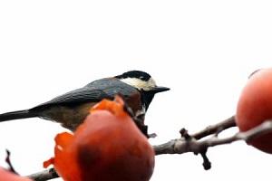 裏庭の熟柿をついばむ小鳥