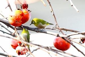 熟柿を食べる小鳥たち