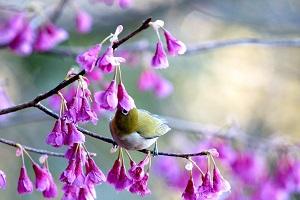寒緋桜の蜜を食べるメジロ