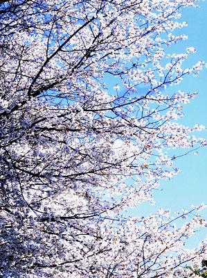 山桜が美しい