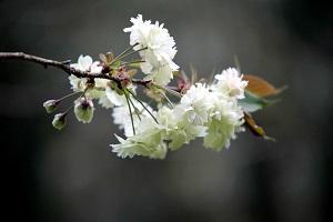 うこん桜の緑が美しい